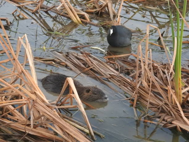American coot and nutria sharing a habitat stock photo