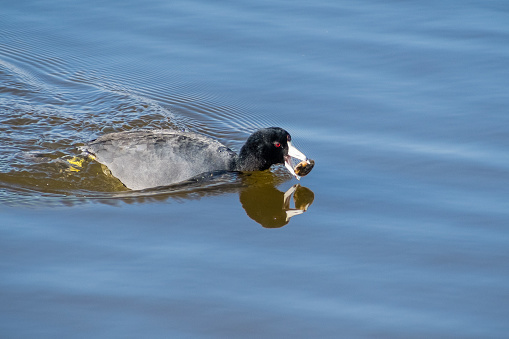istock American coot (Fulica americana) fishing and eating mussels 1095030898