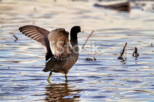 American Coot Fulica americana flapping in a lake