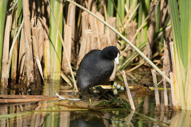 American Coot in Marsh An American Coot rests at the edge of a marsh in Utah. coot stock pictures, royalty-free photos & images