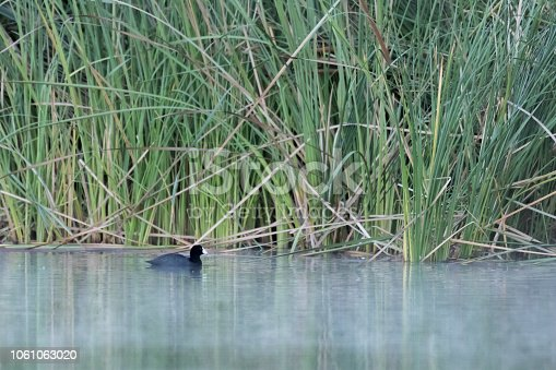 An American coot quietly makes its way across a foggy pond in Costa Mesa, California.