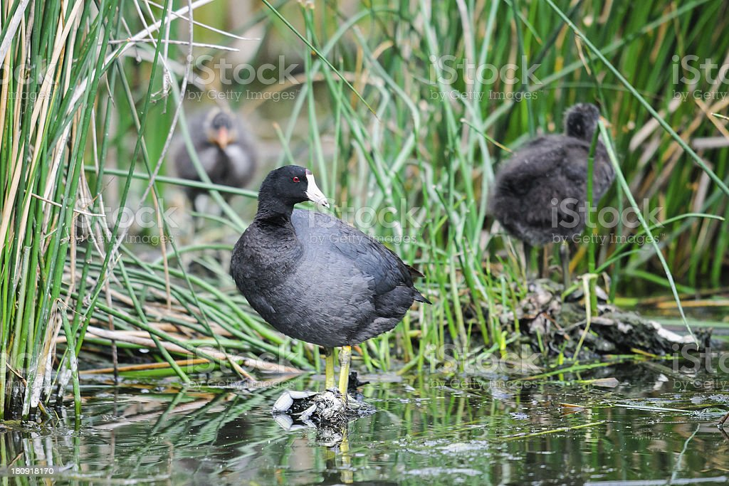 American Coot (Fulica americana) royalty-free stock photo