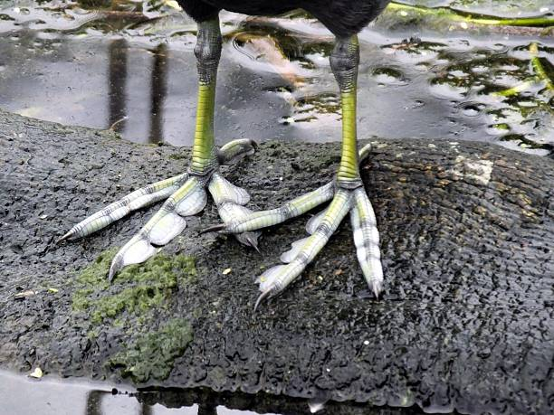 American Coot (Fulica Americana) Photo of the American Coot's legs.  coot stock pictures, royalty-free photos & images