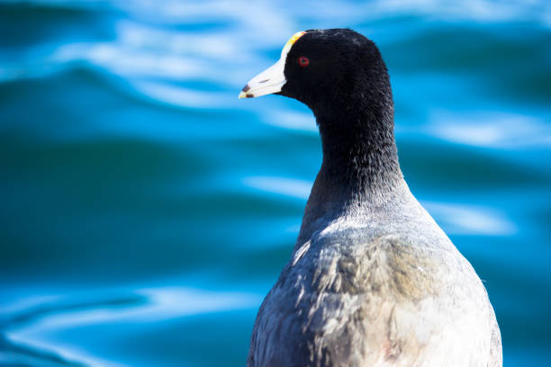 American Coot stock photo