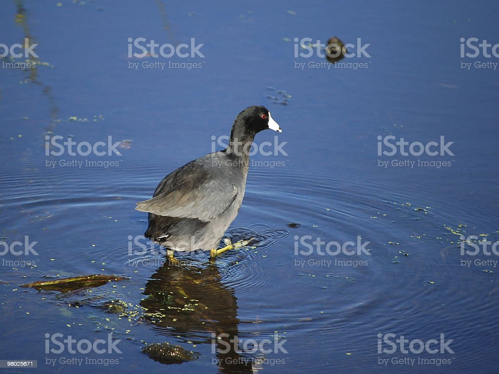 American coot royalty-free stock photo