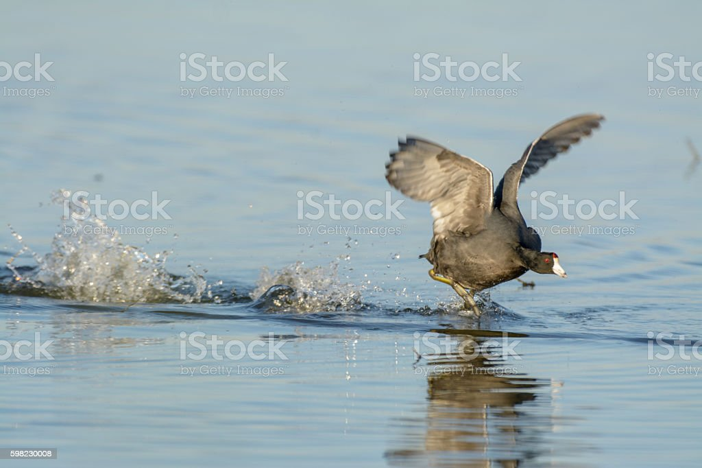 American Coot running on water flapping wings foto royalty-free