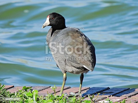 American Coot rear view, profile