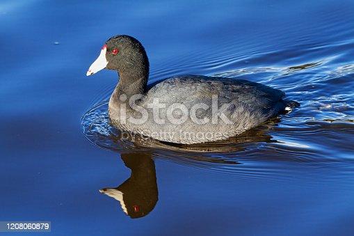 American Coot (Fulica americana), swimming