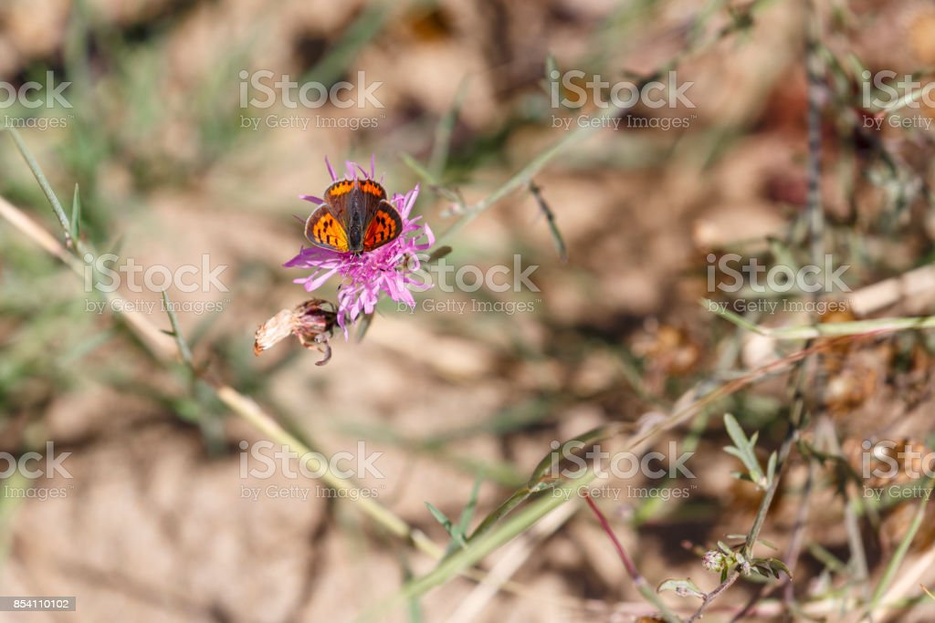American Copper Butterfly on Pink Wildflower, Wings Partially Closed stock photo