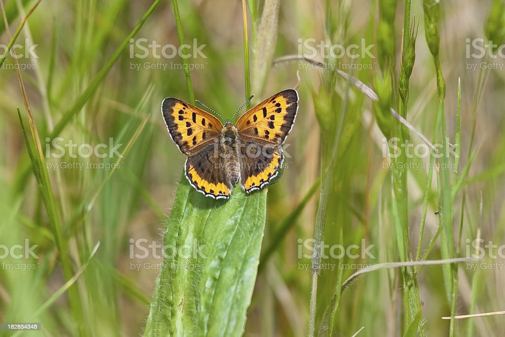 American Copper Butterfly stock photo