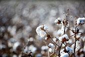 American Cotton Field