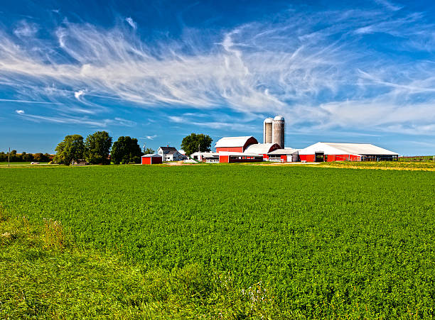 American Country Farm American Country Farm with soybean plants and blue sky dairy farm stock pictures, royalty-free photos & images