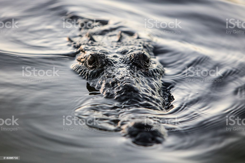 American Crocodile at Surface of Water stock photo