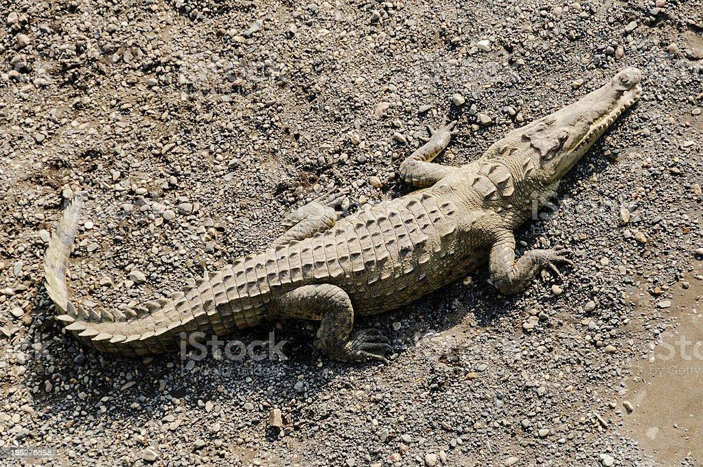 American crocodile (Crocodylus acutus) stock photo