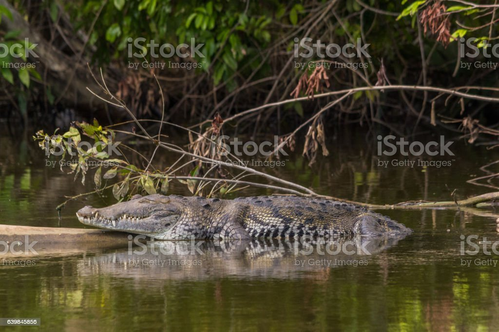 American crocodile sleeping on a log in the Belize river stock photo