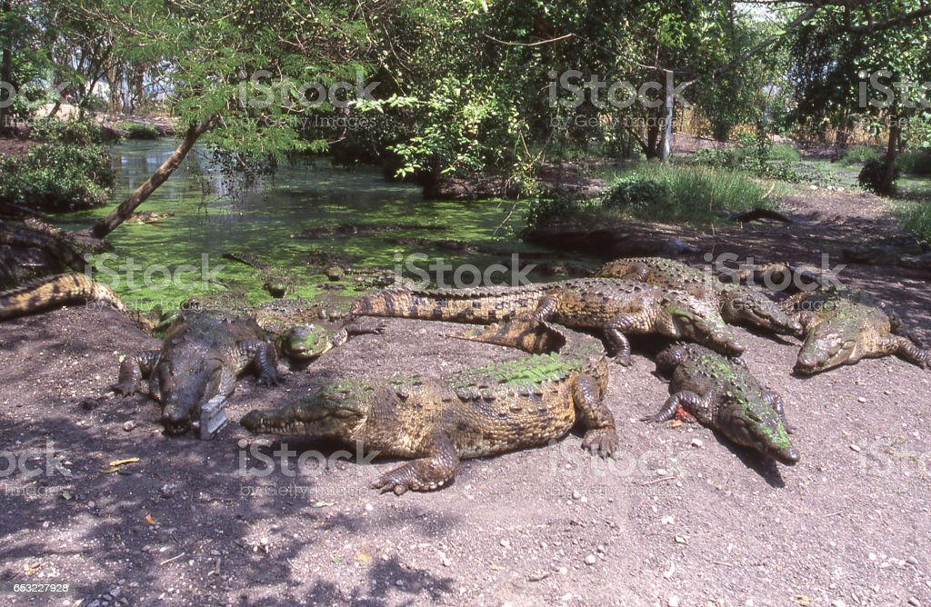 American crocodiles in wildlife sanctuary on riverbank sunning themselves near San Pedro Sula Honduras Central America stock photo