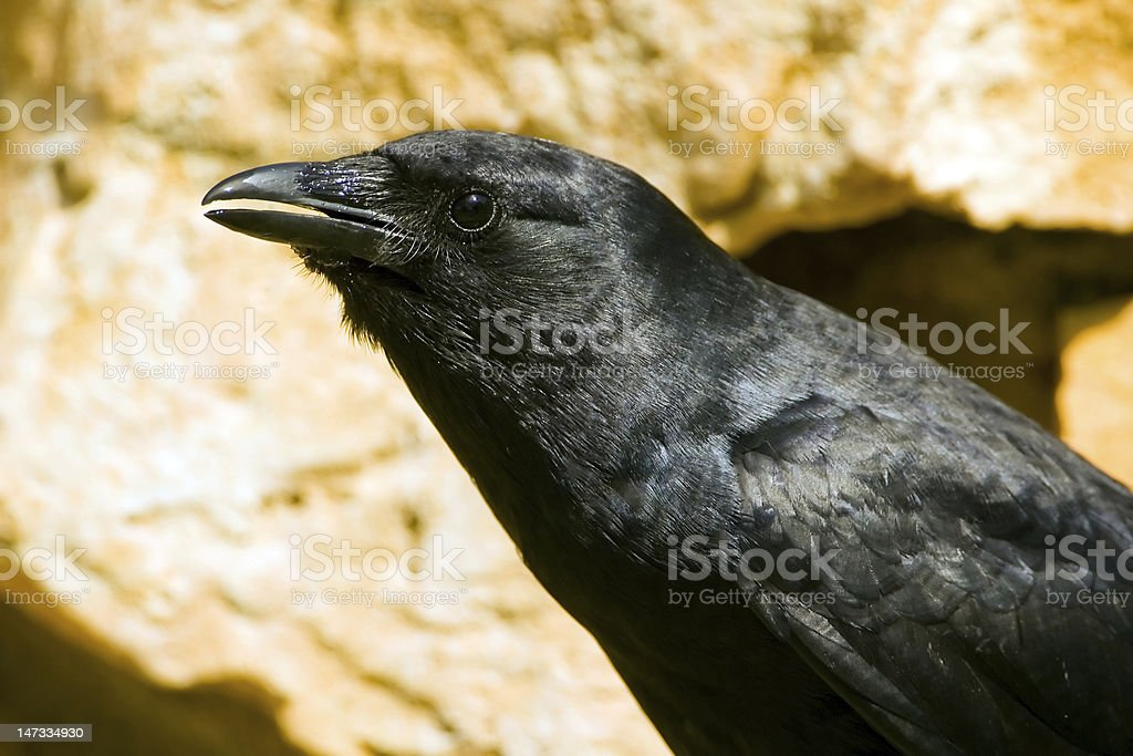 American Crow drinking from a rock fountain stock photo