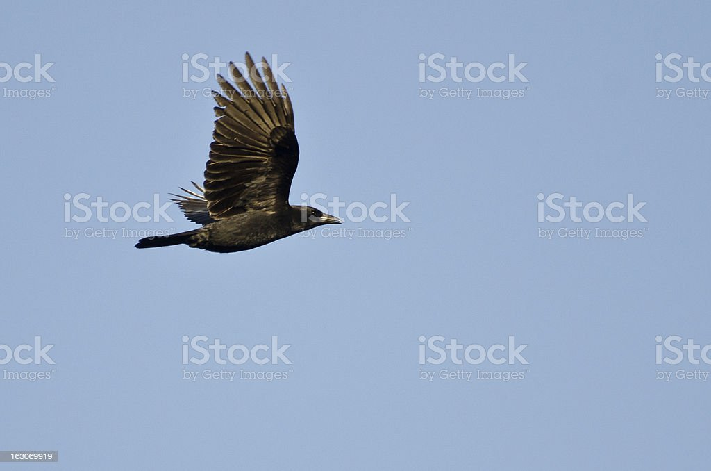 American Crow Flying in a Blue Sky stock photo