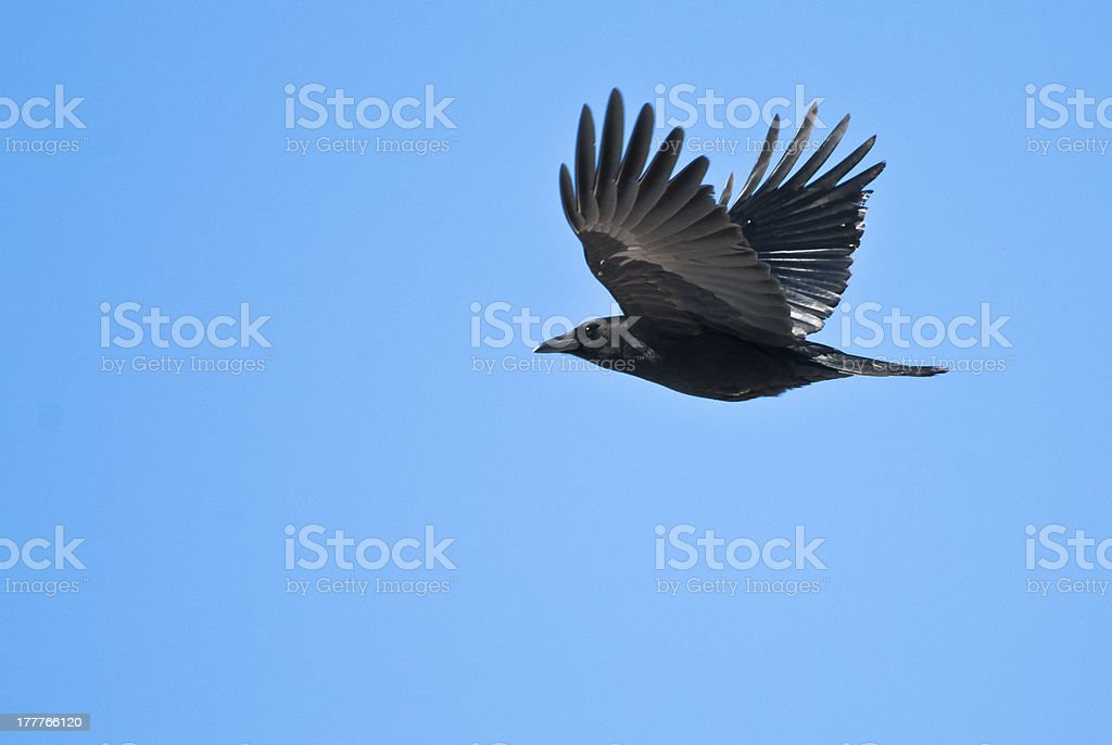 American Crow Flying in Clear Blue Sky stock photo