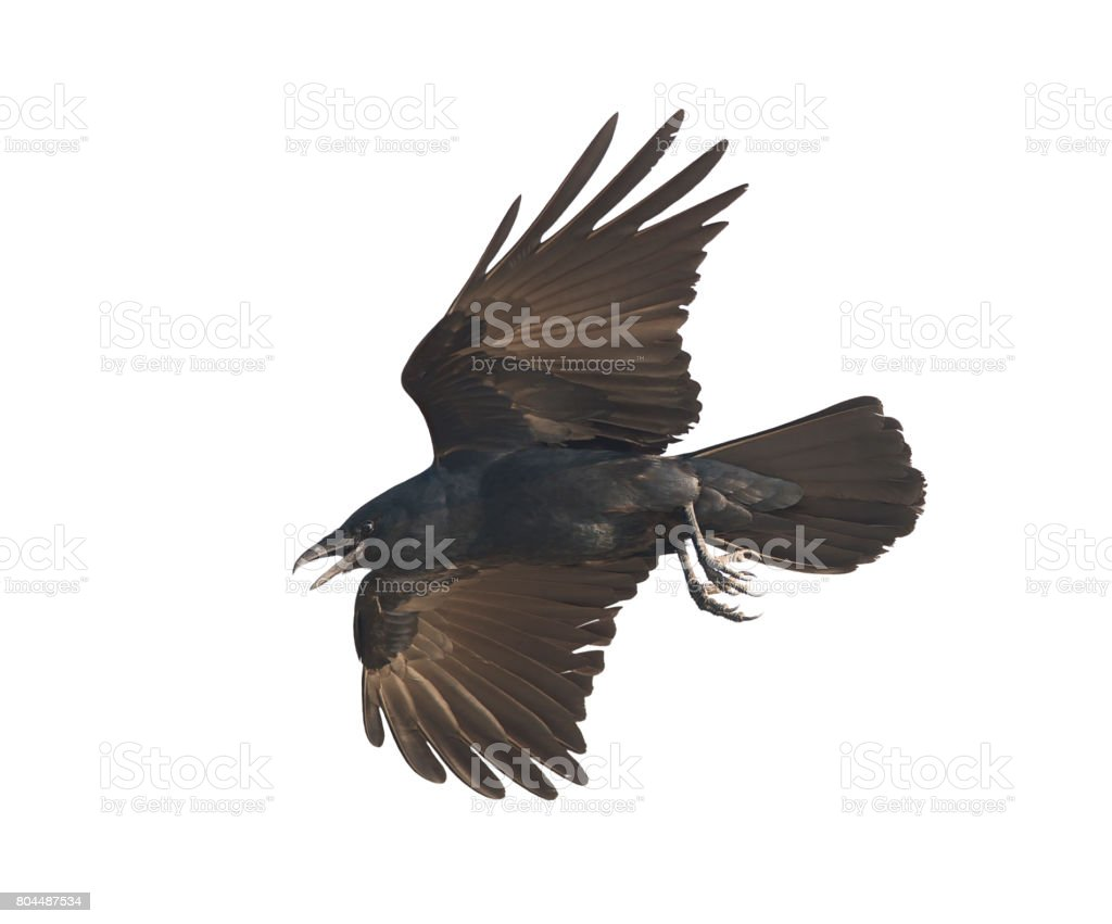 American Crow in flight stock photo