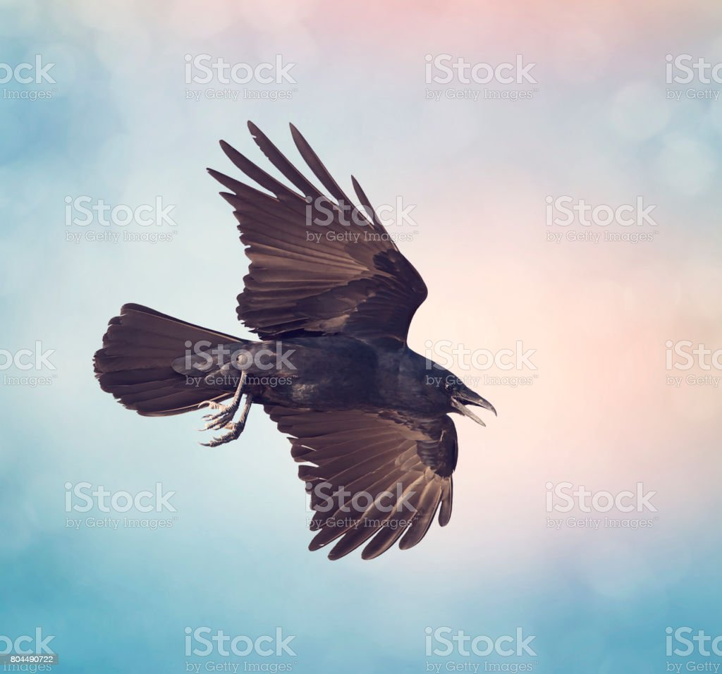 American Crow in flight stock photo