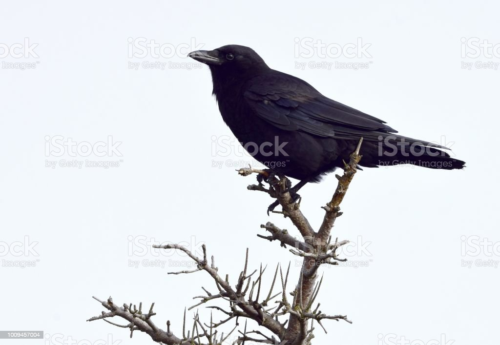 American Crow on the top of a tree stock photo