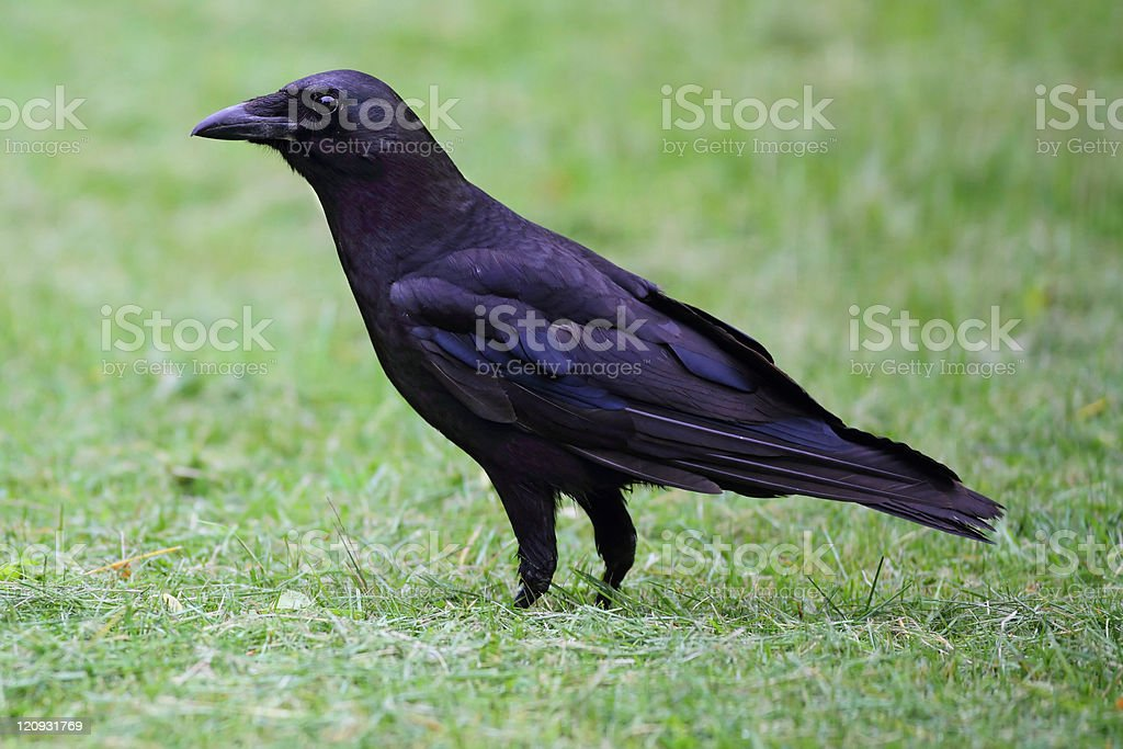 American Crow (Corvus brachyrhynchos) stock photo