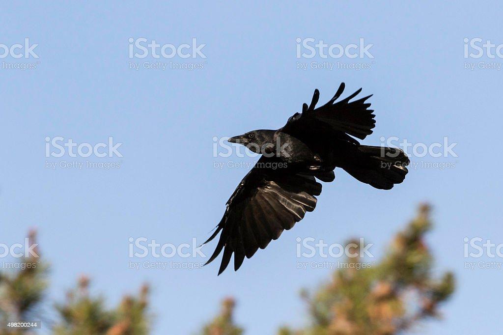 American crow stock photo