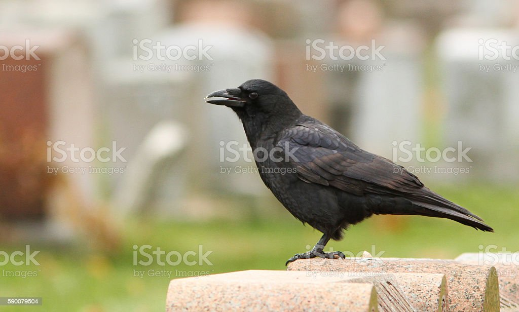 American Crow stock photo