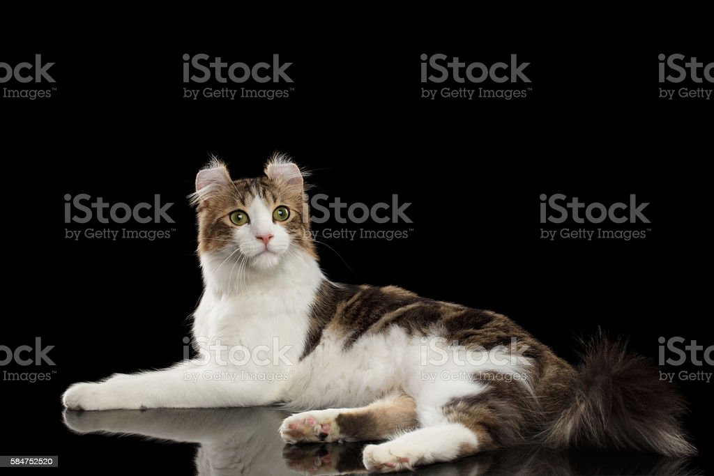 American Curl Cat Breed, Lying on Black Isolated background - foto de acervo