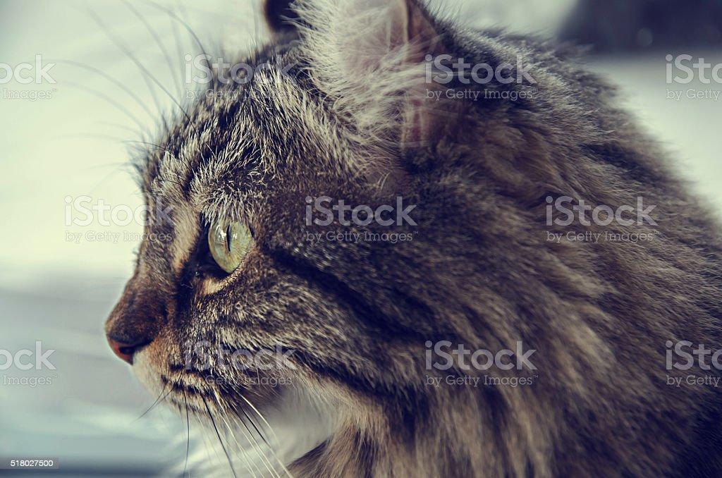 american curl cat looking outside , vintage filtter tone