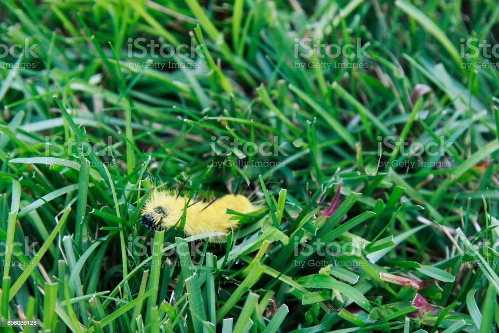 American Dagger Moth caterpillar crawling in the grass. stock photo
