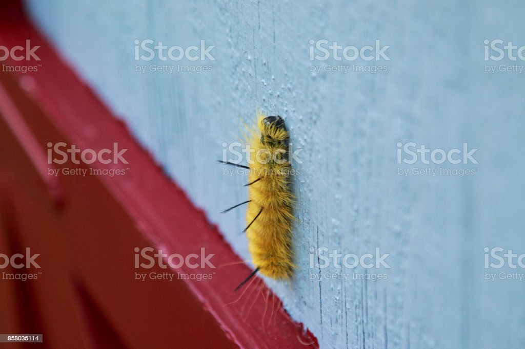 American Dagger Moth caterpillar crawling up a wall. stock photo