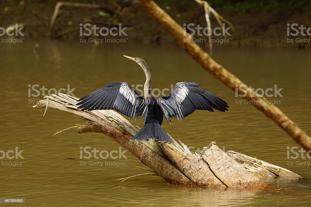American Darter stock photo