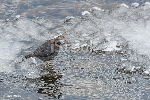 American Dipper, Cinclus mexicanus, also known as a Water Ouzel,  feeds on the bottom of fast-moving, rocky streams. Yellowstone National Park, WY. Very cold conditions in the middle of Winter. Hunting for food in the very cold water.