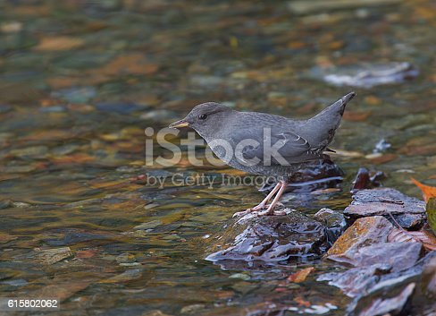 The American dipper (Cinclus mexicanus), also known as a water ouzel, is a stocky dark grey bird with a head sometimes tinged with brown, and white feathers on the eyelids that cause the eyes to flash white as the bird blinks. It is 16.5 cm long and weighs on average 46 g. It has long legs, and bobs its whole body up and down during pauses as it feeds on the bottom of fast-moving, rocky streams. It inhabits the mountainous regions of Central America and western North America from Panama to Alaska.