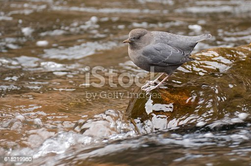 As water flows over his feet while perched on a rock, a water ouzel, or American dipper scoops up aquatic insects and their larvae in Bear Creek, Morrison Colorado.