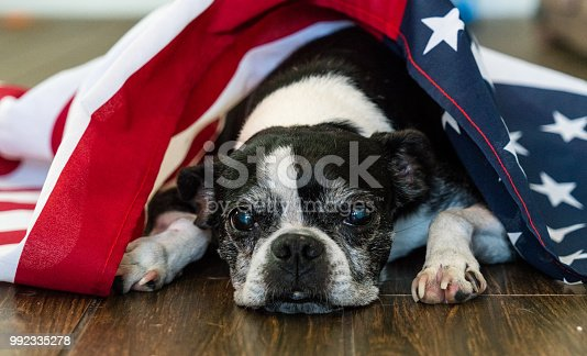 489224301 istock photo American Dog on Inedepedence Day 992335278