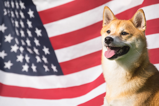 American Dog Stock Photo - Download Image Now