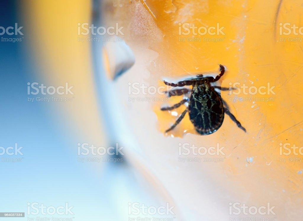 American Dog Tick Dermacentor variabilis - Royalty-free Animal Stock Photo