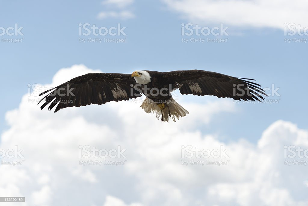 American Eagle flying stock photo