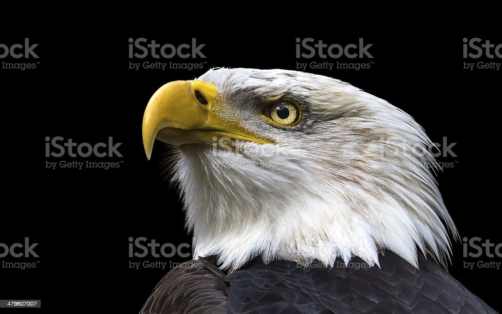 American Eagle stock photo
