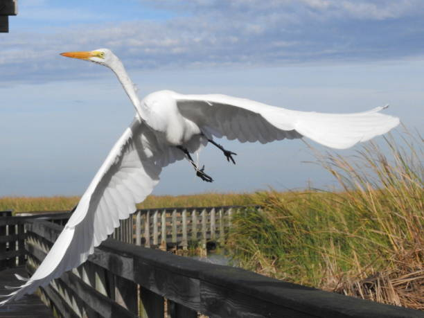 American egret taking off over boardwalk, close-up stock photo