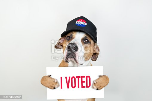 istock American election activism concept: staffordshire terrier dog in patriotic baseball hat 1067063392