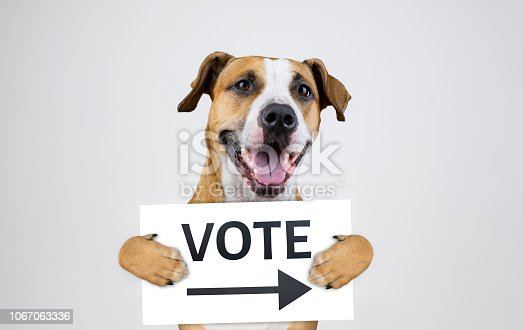 istock American election activism concept with staffordshire terrier dog 1067063336