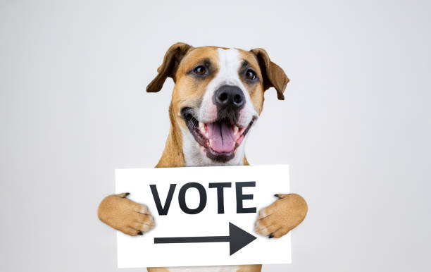 American election activism concept with staffordshire terrier dog stock photo