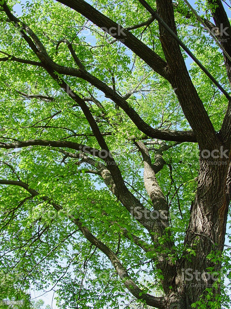 American Elm royalty-free stock photo