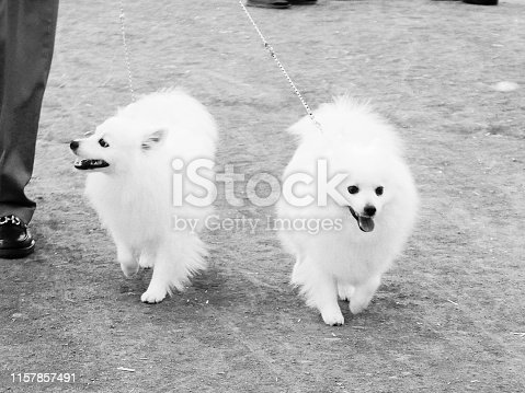 Cute white showy American Eskimo Dogs in obedience training class