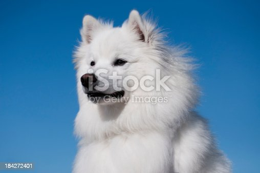 An American Eskimo DogPlease see additional dog photos below