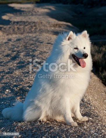 An American Eskimo dog looks at sunrise.Related Images: